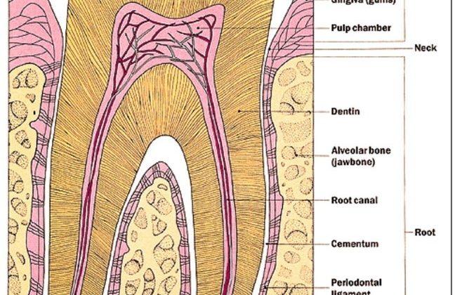 آناتومی دندان